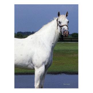 Appaloosa-Pferd Postkarte