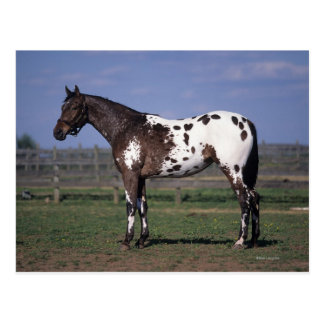 Appaloosa-Pferd stehend Postkarte