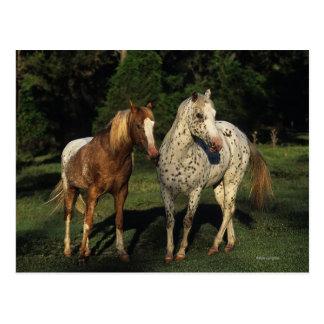 Appaloosa-Pferde Postkarte