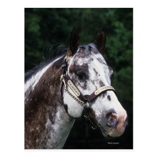 Appaloosa-PferdeHeadshot 2 Postkarte