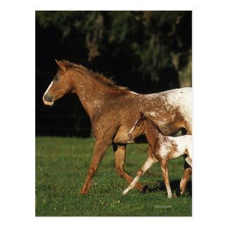 Appaloosa-Stute und Fohlen Postkarte