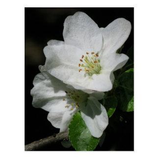 Apple blühen postkarten