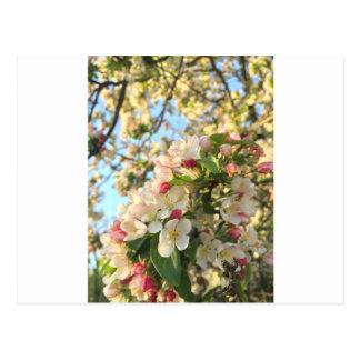 Apple blühen Sonnenschein Postkarte
