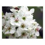 Apple blüht im Frühjahr Kunstfotos