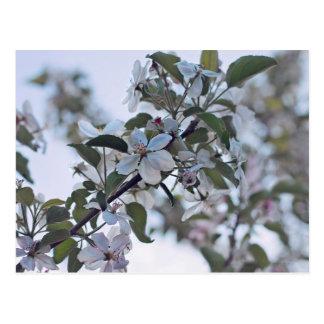Apple-Blüten-Postkarte Postkarte