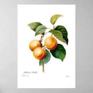 Aprikose Posterdruck