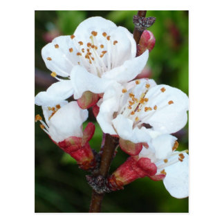 Aprikosen-Baum Postkarte