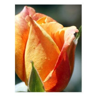 Aprikosen-Rose Postkarte