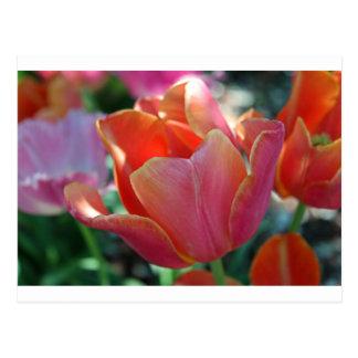 Aprikosen-Tulpe Postkarte