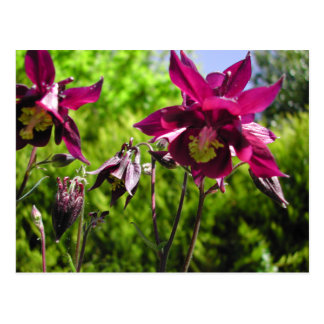 Aquilegia. Lila Blumen der Pflaume Postkarte