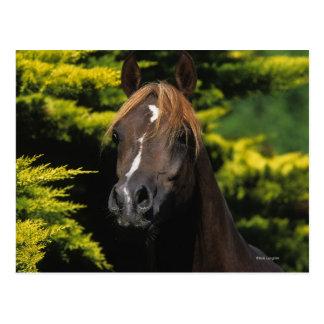 Arabischer Stallion Postkarte