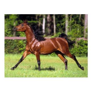Arabisches Pferd, das 2 laufen lässt Postkarte