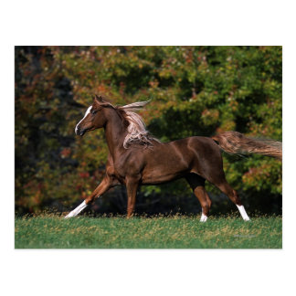 Arabisches Pferd, das in grasartiges Feld läuft Postkarte