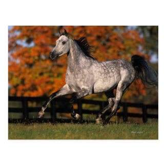 Arabisches Pferd: Herbst 1 Postkarte