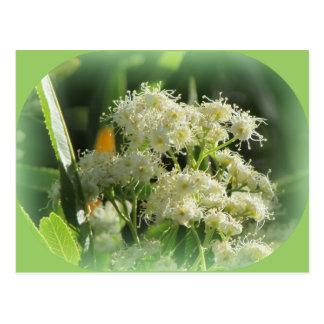 Arizona-Rosenholz-Blüte Postkarte