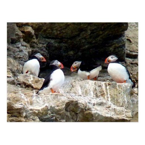 Arktische Papageientaucher in Svalbard Postkarte