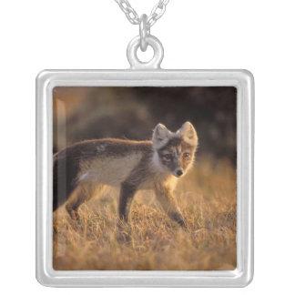 arktischer Fuchs, Alopex Lagopus, Mantel, der von Versilberte Kette