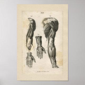 Arm-Muskel-Vintager Anatomie-Druck Poster
