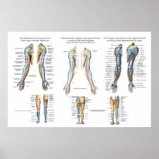 Arm-Nerven-Innervation des obere Poster
