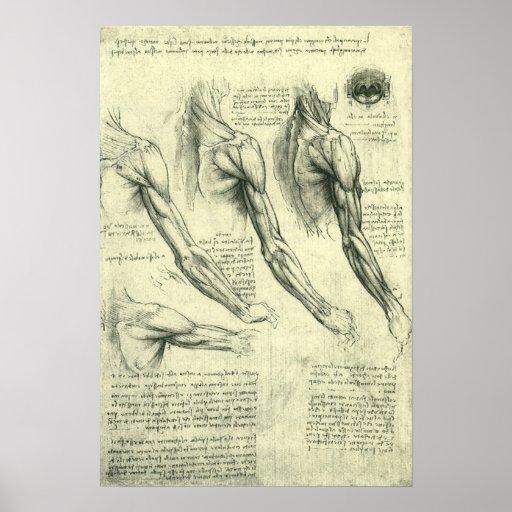 Arm-und Schulter-Muskel-Anatomie Leonardo da Vinci Poster