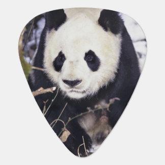 Asien, China, Sichuan-Provinz. Großer Panda in 2 Plektrum