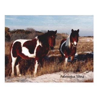 Assateague wilde Pferde 2 - Postkarte