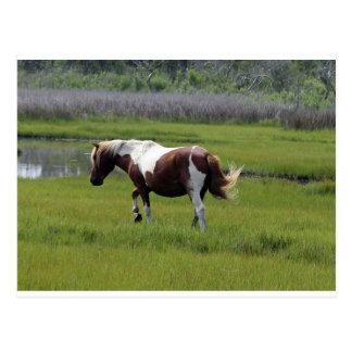 Assateague wildes Pferd Postkarte