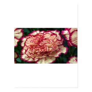 Atemberaubende Gartennelke Postkarten