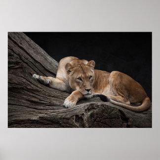 Atemberaubende Löwin Poster