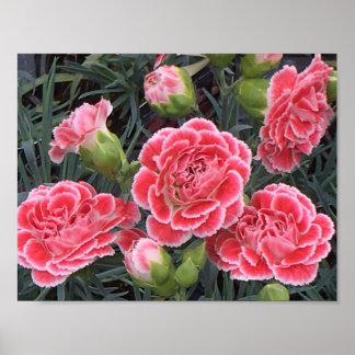 Atemberaubender Dianthus Poster