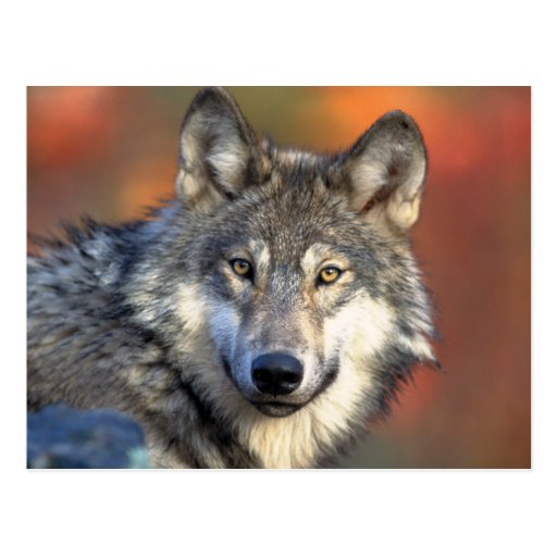 Atemberaubender grauer Wolf Postkarte