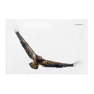 Atemberaubender kahler Adler tut eine Überführung Acryldruck