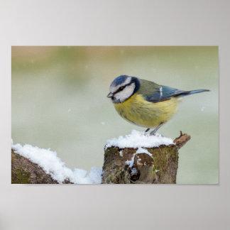 Atemberaubender wilder Vogel des blauen Tit im Poster