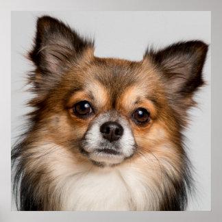 Atemberaubendes Chihuahuaporträt Poster