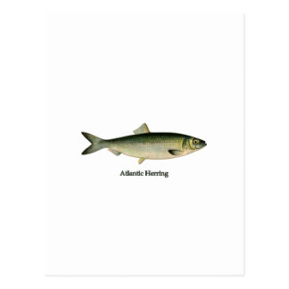 Atlantische Heringe Postkarte