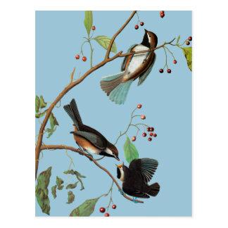 Audubon: Chickadee Postkarte