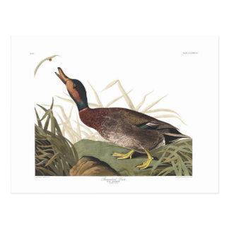 Audubon Platte 338 Bemaculated Ente Postkarte