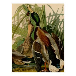 Audubon Stockentenente Vogel-Vintager Druck Postkarte