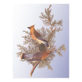 Audubon Zederwaxwing-Vogel Postkarte