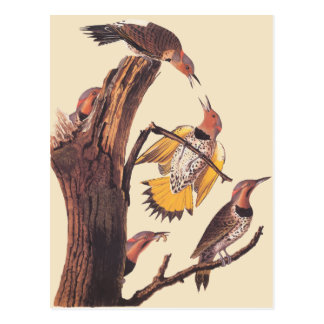 Audubons Golden-Winged Specht-Familie der Vögel Postkarte