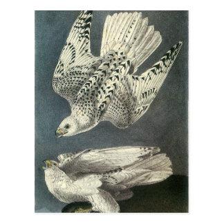 Audubons Gyrfalcon Postkarte