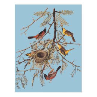 Audubons Obstgarten Oriole in der Postkarte