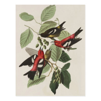 Audubons Weiß-winged Gegenwechsel Postkarte