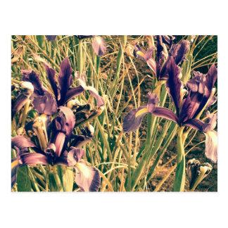 Auf der Suche nach blauen Iris-Feldern 2 Postkarte