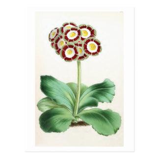 """Aurikel-"" Vintage Blumen-Illustration Postkarte"