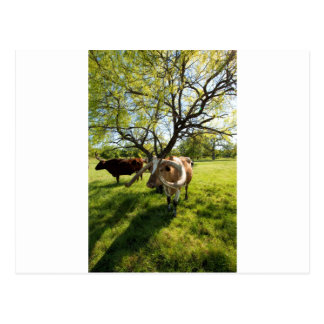 Ausgezeichnetes Vieh Texas Longhorn Postkarte