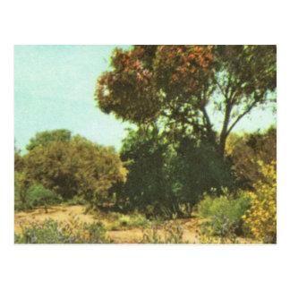Australien, Eukalyptusbäume, in der Blüte Postkarte