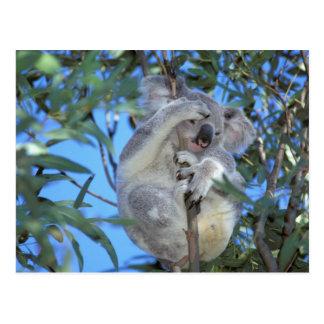 Australien, Koala Phasclarctos Cinereus) Postkarte