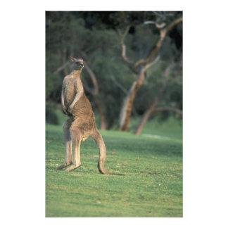 Australien, Vic. Känguru auf dem Anglesea Golf Photodruck
