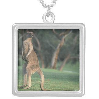 Australien, Vic. Känguru auf dem Anglesea Golf Versilberte Kette